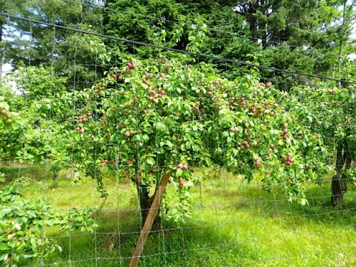 laden apple tree