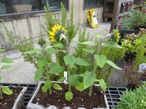 At The Planter Box, a shy little sunflower