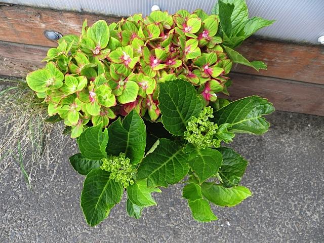 Hydrangea 'Pistachio' from The Planter Box.