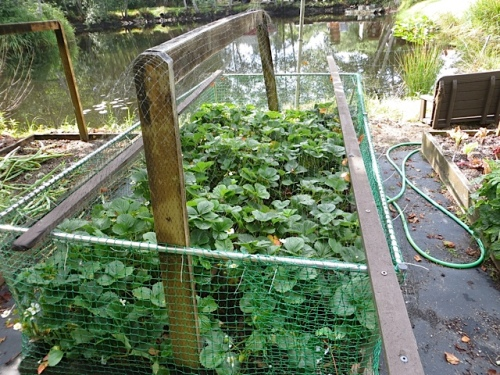 protected strawberries by the pond