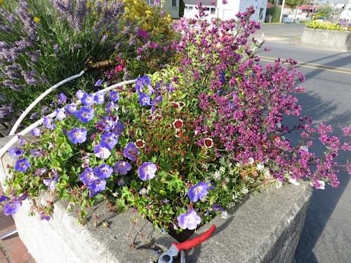 Geranium 'Rozanne', Coreopsis 'Jive', ornamental oregano 'Hopley's Purple'