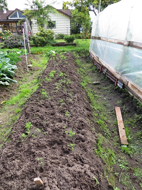 raised bed and poly tunnel