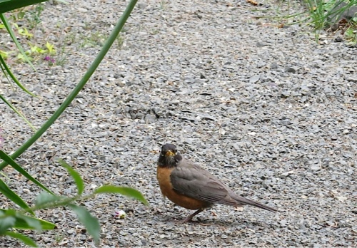This robin had just been seen pilfering blueberries.