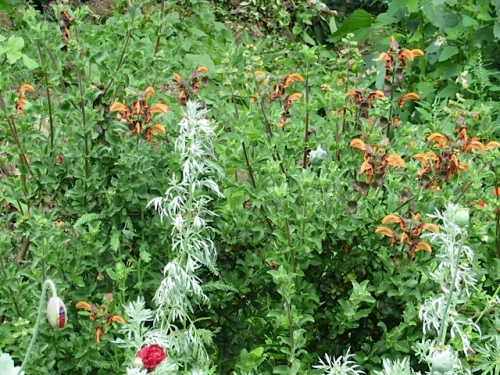 I've always grown this salvia in a pot.  It is much more vigorous here.