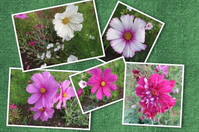 assorted cosmos