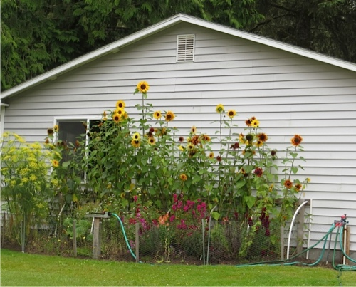 sunflowers on the empty house