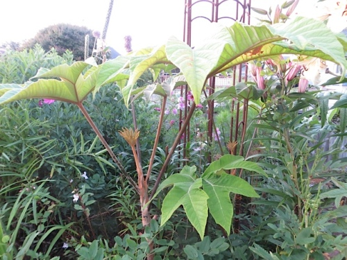 Tetrapanax papyrifer 'Steroidal Giant' in front garden