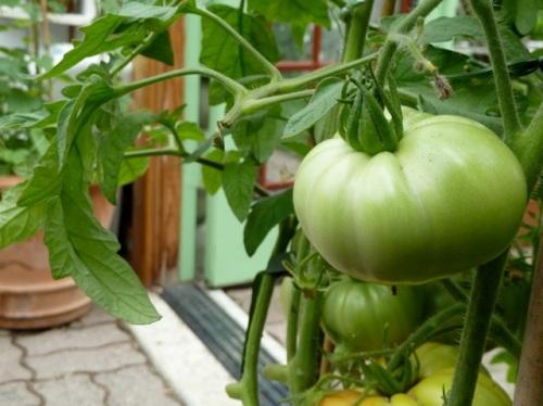 Allan's tomato photo