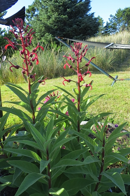 Lobelia tupa, why so temperamental?