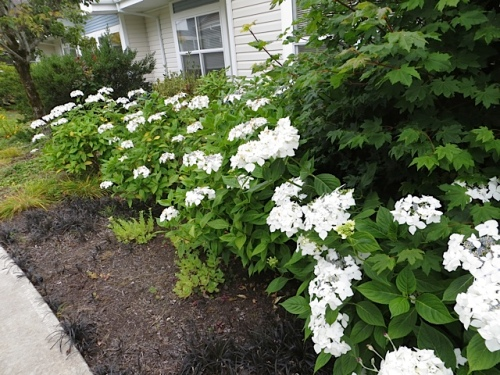 The white hydrangeas would get no water at all except for our hose watering.