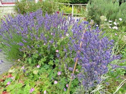 Lavender and Eryngium 'Jade Frost'
