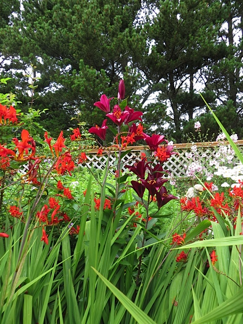 with Crocosmia 'Lucifer'