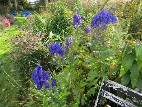 Aconitum in back garden