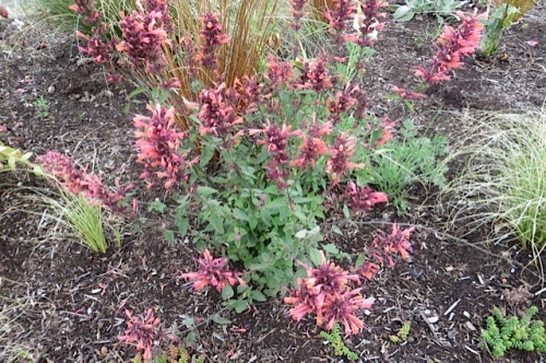 an Agastache 'Acapulco Salmon and Pink' still blooming