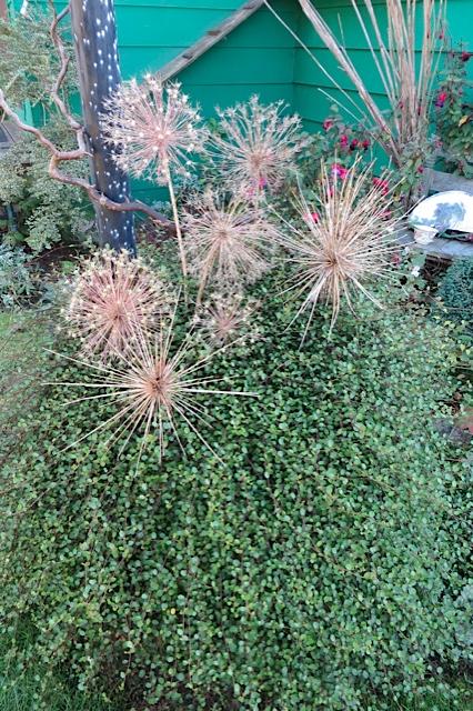 Alliums albopilosum and schubertii