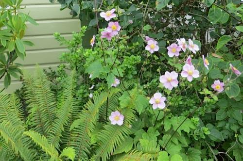 Japanese anemone, north side Wiegardt garden