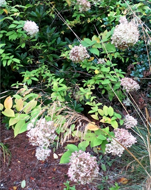 autumn hydrangea and Stipa gigantea