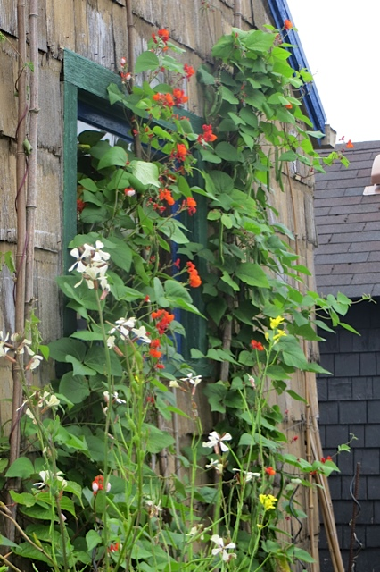 beans on the south shed wall