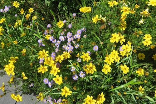 yellow Bidens along the edge is self cleaning....