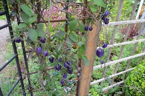 at KBC: the berries of Billardia longiflora
