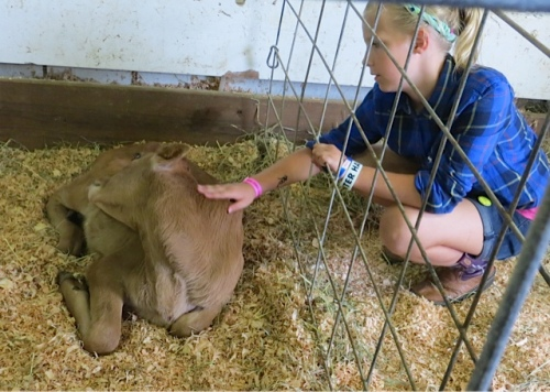 a calf being petted