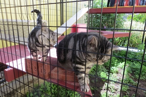 American shorthaired cats