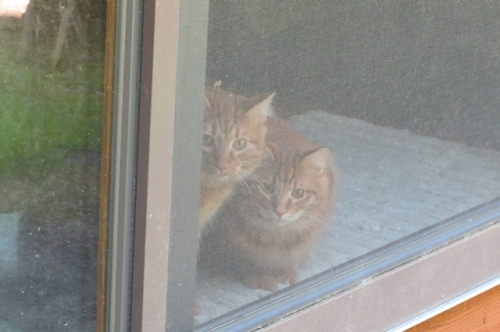 two indoor kitties watching from a screen door