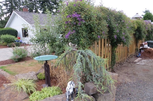 exuberant clematis on fence