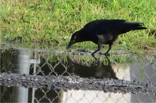 one of the crows