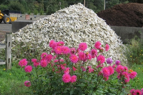 dahlias and oyster shells