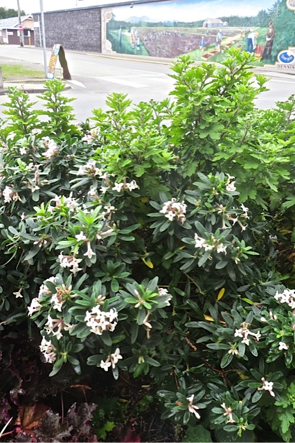 short, fragrant, long period of bloom