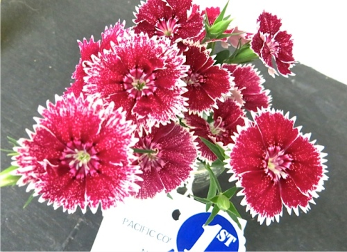 Allan said this was the only Dianthus entry.