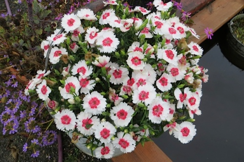 a perfect clump of Dianthus