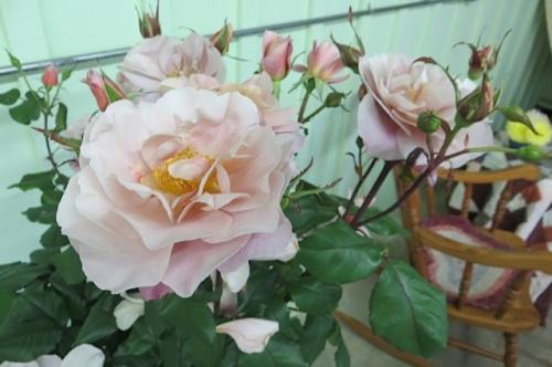 Rose 'Distant Drums'