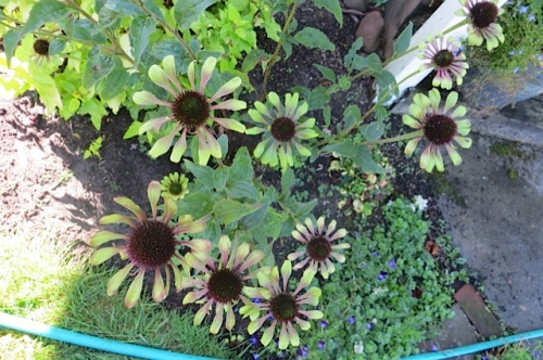 the long lasting bloom of Echinacea 'Green Envy'