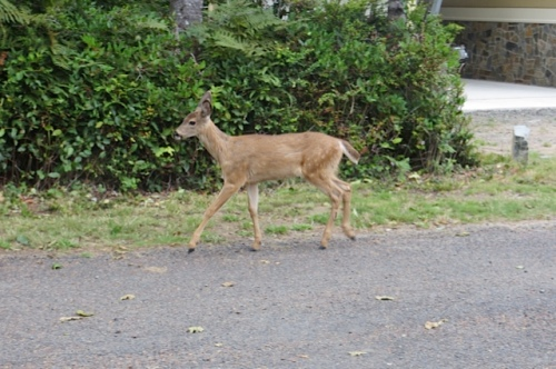 Her fawn trots from the neighbour's yard to join her.