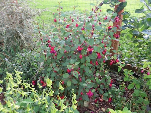heavily flowering Fuchsias everywhere