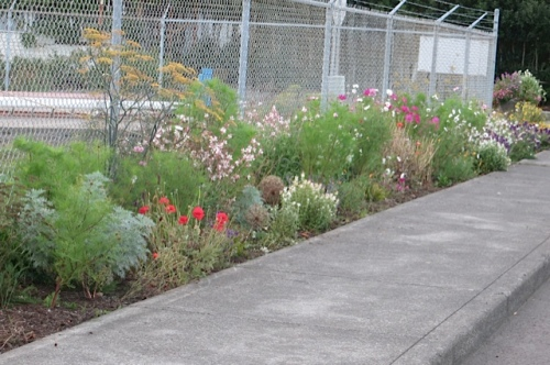 a good section with Gaura 'Whirling Butterflies'