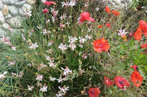 Gaura 'Whirling Butterflies' and some late poppies at OBS
