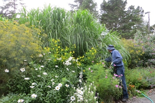 the giant Miscanthus grows this big in one season!