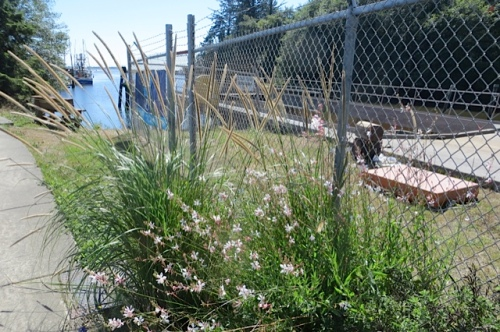 a lovely grass at the south end of the boatyard garden