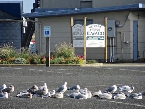 gulls resting up in the port parking lot