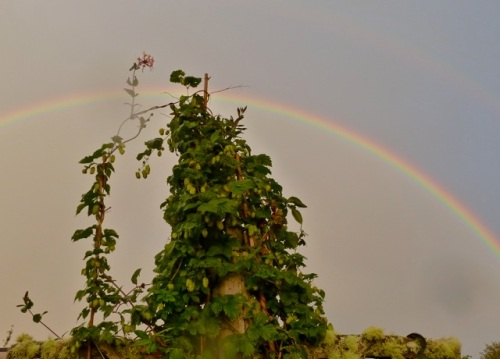 Allan's photo: over the hops vine