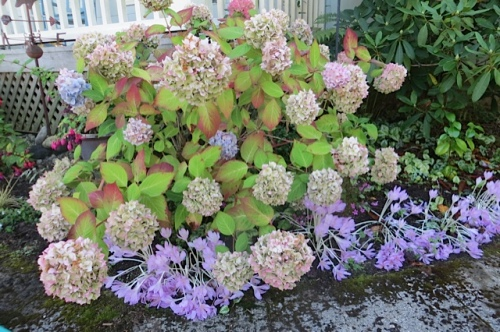 Hydrangea and autumn crocus