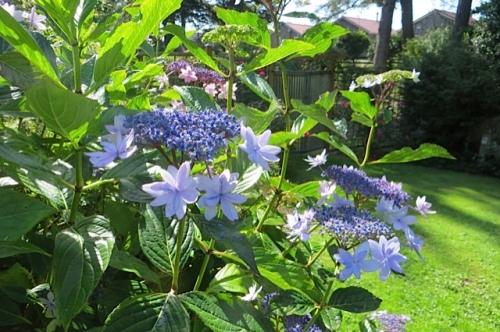 Hydrangea 'Izu No Hana'...speaking of blue...