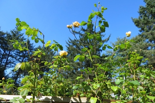 Mary's favourite rose, Jude the Obscure, against the blue, blue sky