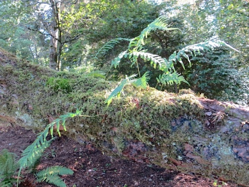 licorice fern on a tree