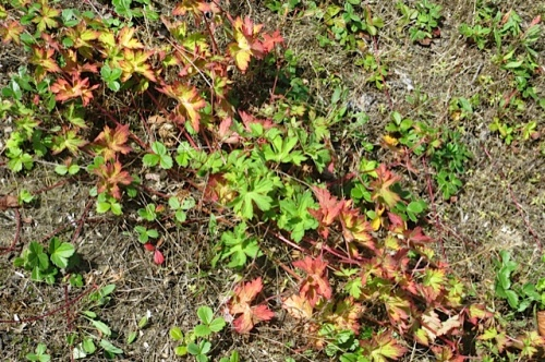 In the center swale, the Geranium 'Rozanne' is putting out new growth in the center.