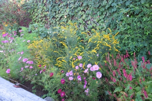 'Fireworks' goldenrod and cosmos in the Depot garden