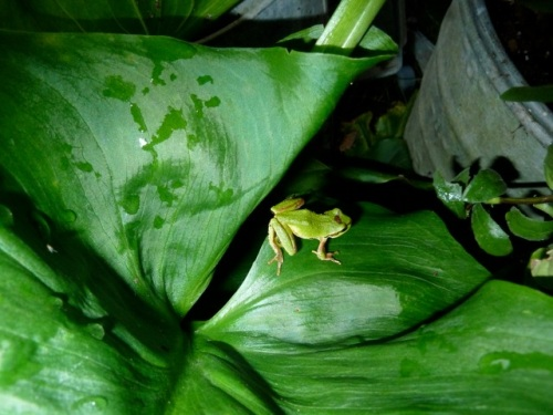 a tree frog photographed by Allan